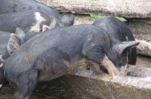HogsFeeding