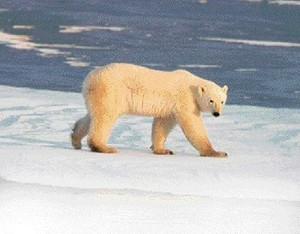 Polarbear_2